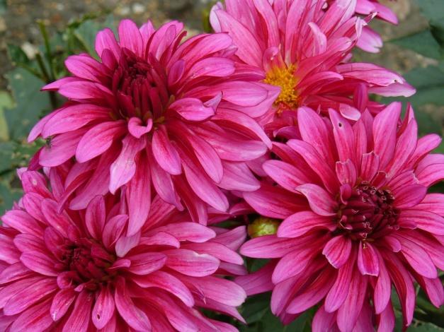 cvety georginy 667641