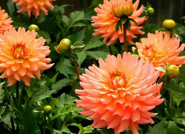 cvety georginy oranzhevyj shary 705061