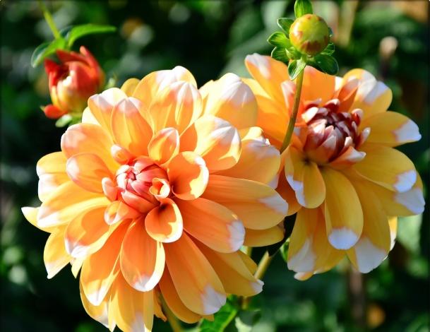 cvety georginy zheltye 869454