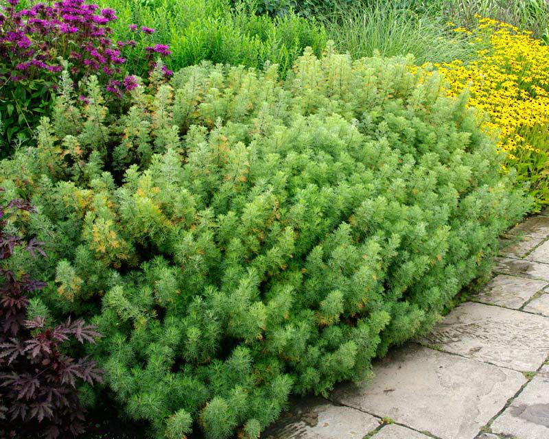 Polyn-dekorativnaya-bozhe-derevo-Artemisia-abrotanum-v-landshaftnom-dizayne-foto.jpg